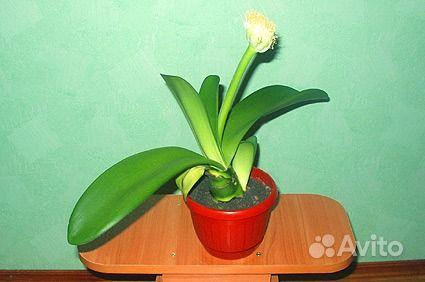 Фото домашних цветов с широкими листьями