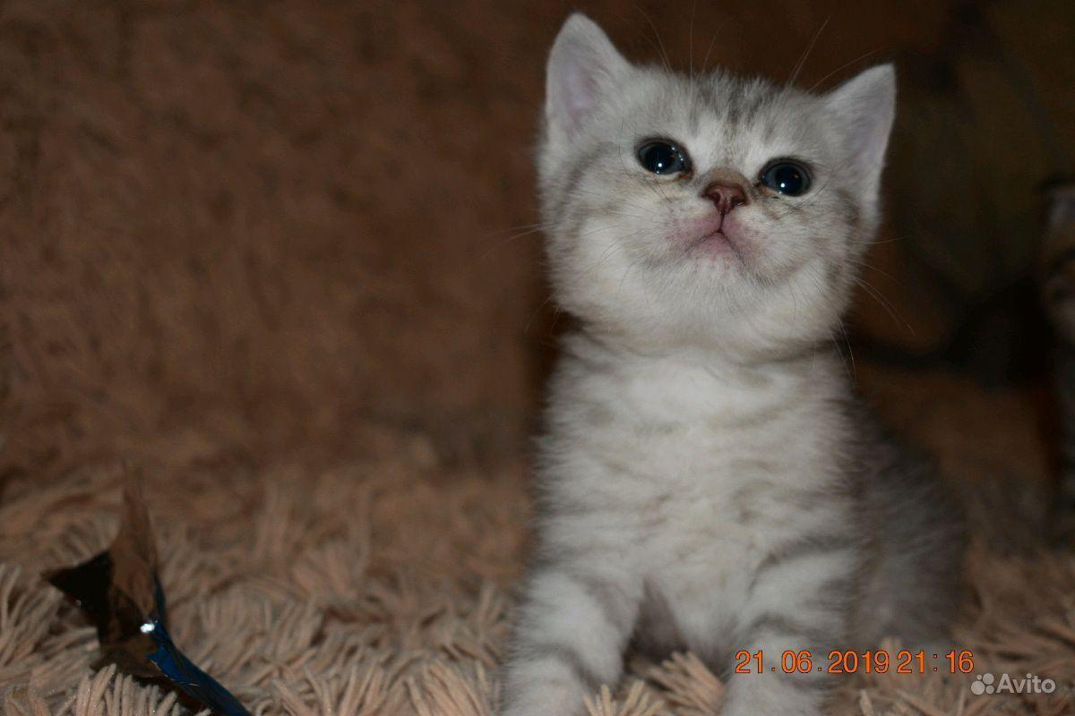 Шотландские котята в Пензе - фотография № 6
