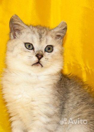 Продам породистую кошечку сибирьскую
