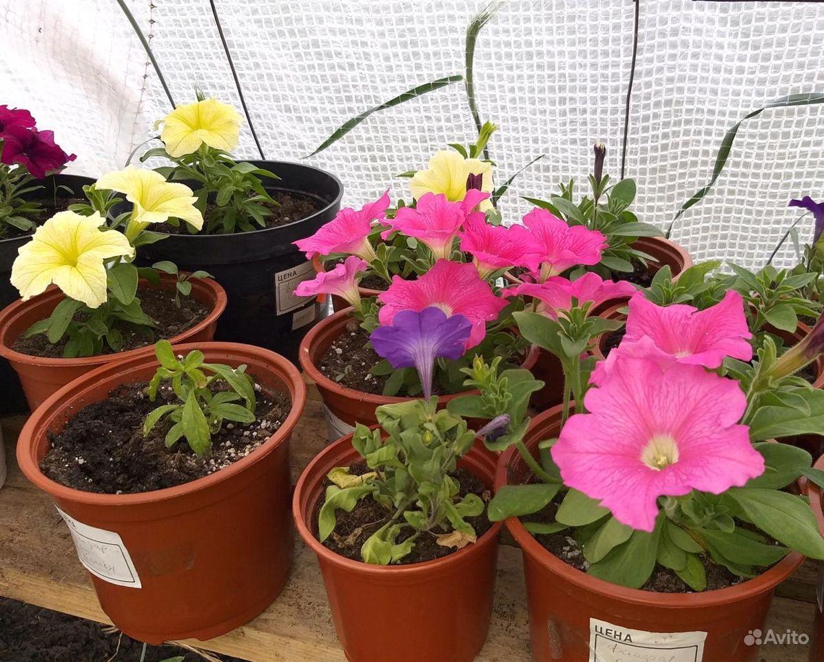 Рассада цветов вегетативная в горшках 0.8 л купить на Зозу.ру - фотография № 4