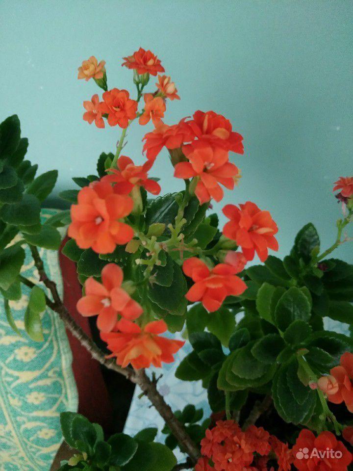 Каланхоэ цветущий купить на Зозу.ру - фотография № 3