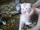 Шотландский котёнок прямоухий,остался один