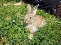 Кроликов фландер