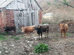 Продам коров, бычков, телят, баранов