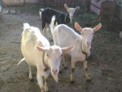 Дойные козы и козёл