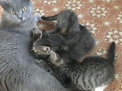 Котята от британской короткошёрстной кошки