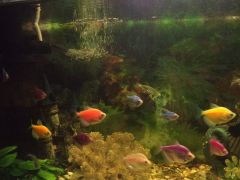 Аквариумные рыбки Тетра и данио