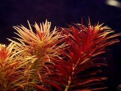 Аквариумные растения в наличии и под заказ