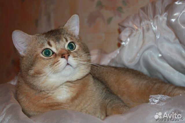 Вязка с британским котом авито