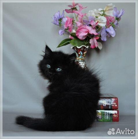Сибирский котенок мистический чисто черный