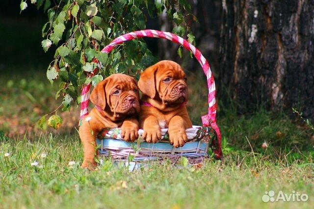 Бордосики щенки