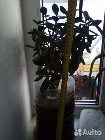 Толстянка (денежное дерево) 89615422677 купить 7