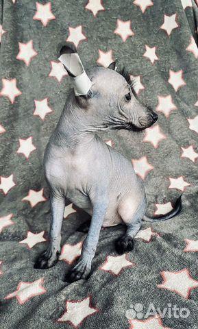 Мексиканская голая (Ксолоитцкуинтли) купить на Зозу.ру - фотография № 5