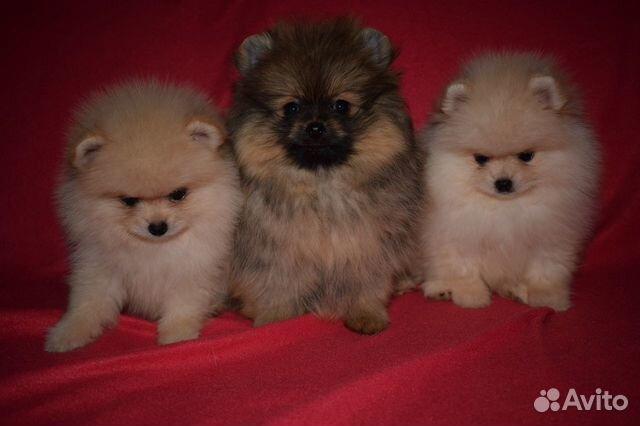 Очень красивые щенки померанского шпица купить на Зозу.ру - фотография № 5