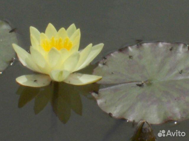 Нимфеи (водные лилии ) купить 1