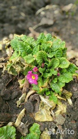 Ранние садовые многолетники 89806701171 купить 6