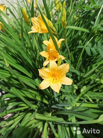 Многолетние цветы примула, почвопокровные, для гор  купить 7