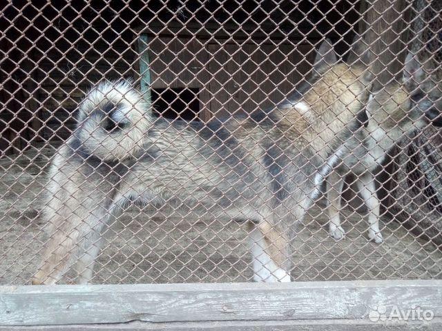 Продаются щенки западно сибирской лайки 89156783151 купить 1