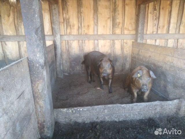 Продам супоростных свиноматок