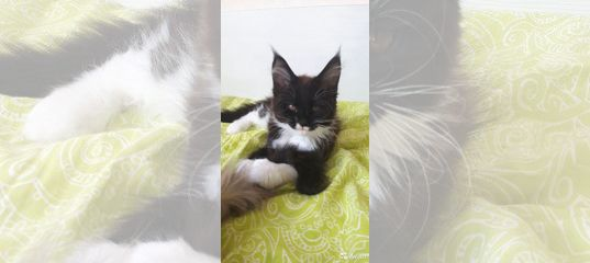 Котята Мейнкун купить в Республике Татарстан | Животные и зоотовары | Авито