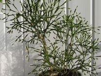 Хатиора -комнатное растение