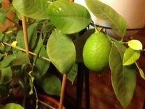 Лимоны.Каламандины. Мандарины