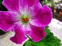 Пеларгонии цветущие