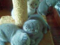 Вислоухие шотландские котята, 2 мес