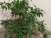Гибискус пестролистный — Растения в Рязани