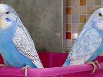 Попугайчики оптом — Птицы в Москве