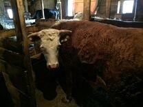 Корова Герефорд с теленком