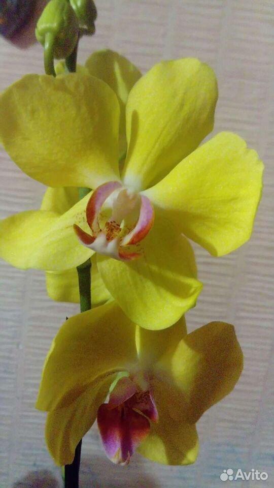 Орхидея 89529483343 купить 3