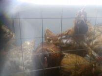 Куры и перепела, уже несущие яйца