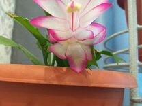 Декабрист — Растения в Саратове