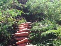 Продается свекла, морковь, капуста с.Алексеевка