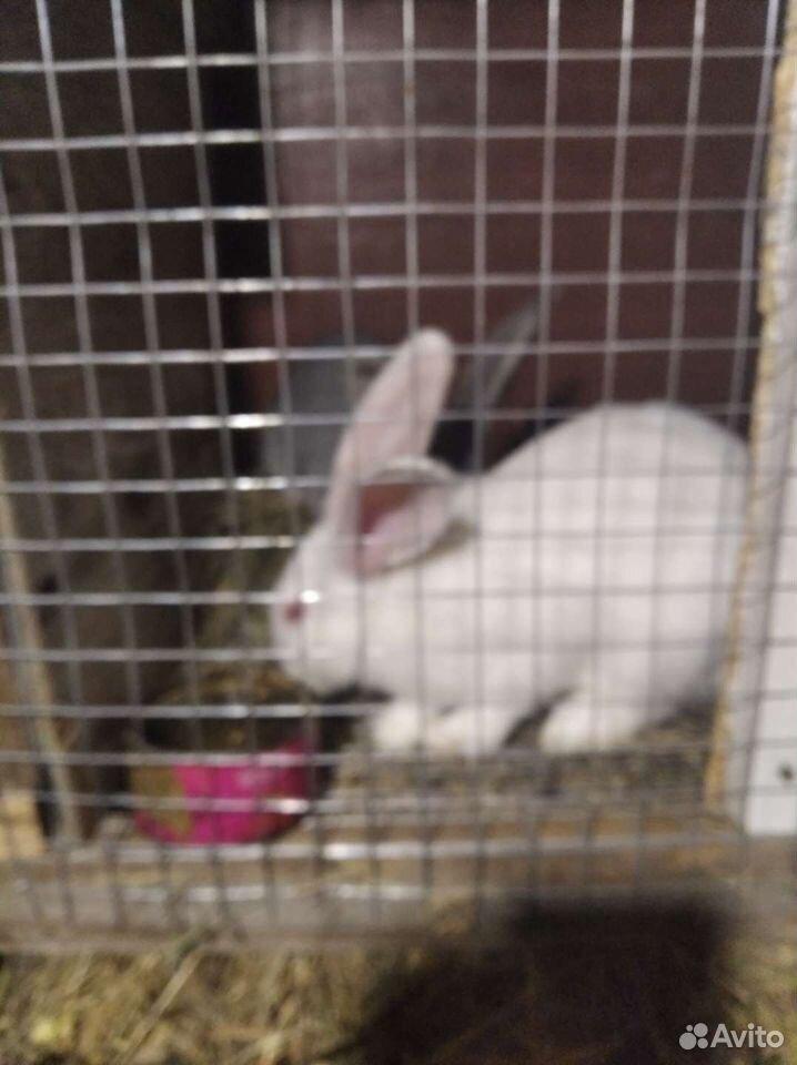 Кролики  89198032738 купить 1