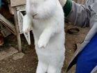 Кролики. Породы фландр